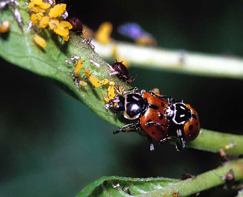 Lady Bugs and Aphids
